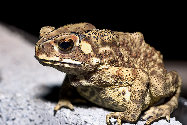 The population of Cane Toads