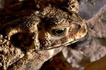 Title: Spectacled Toad (3)
