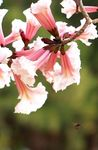 Title: Ip� Pink Flower and Bee