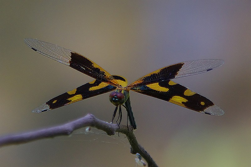 Colored wings