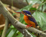 Title: Blue Eared Kingfisher