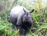 Title: Indian_one horned _rhino