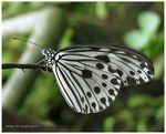 Title: Paper Kite butterfly (Idea Leuconoe)