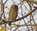 Title: Asian barred owlet