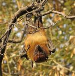 Title: Indian Flying Fox
