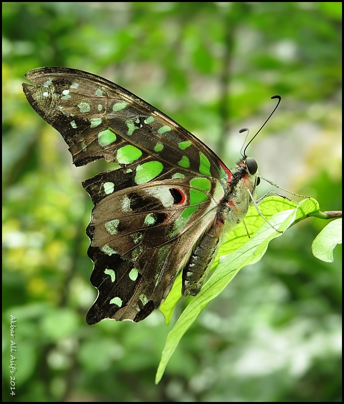 GREEN TRIANGLE ((Graphium agamemnon)