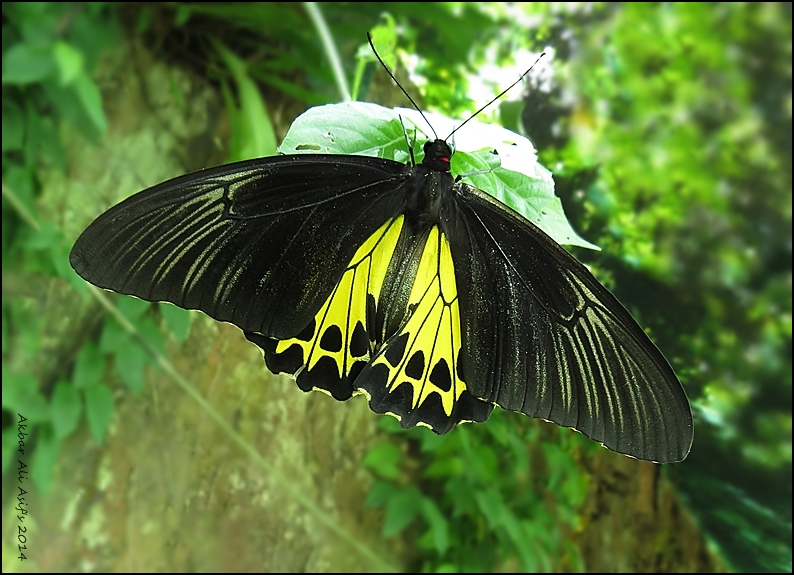 COMMON BIRDWING .Troides helena cerberus
