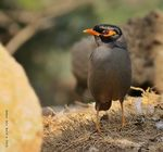 Title: Bank myna (Acridotheres ginginianus)