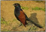 Title: Greater Coucal(Centropus sinensis)
