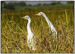 Title: Egrets in a paddy field