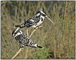 Title: Pied Kingfisher (Ceryle rudis)