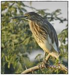 Title: Indian Pond Heron (Ardeola grayii)