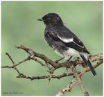 Title: Male Pied Bush chat