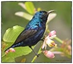 Title: Purple Sunbird (Male)