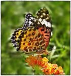 Title: Butterfly on Lantana
