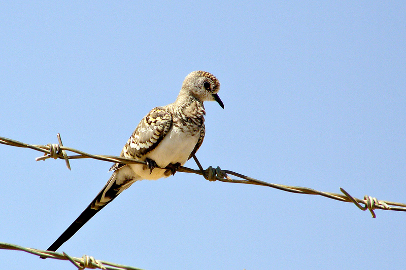 Young Namaqua Dove