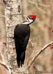Title: Pileated Female