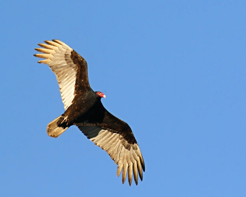 Immature Turkey Vulture