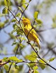 Title: Yellow Warbler
