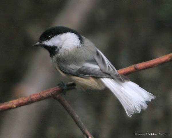 Black-capped Chickadee With White Tail