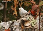 Title: Leucistic Dark-eyed Junco