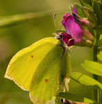 Title: Gonepteryx rhamniNikon D80 with MB_D80