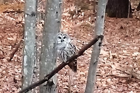 Barred Owl in Northern Woods