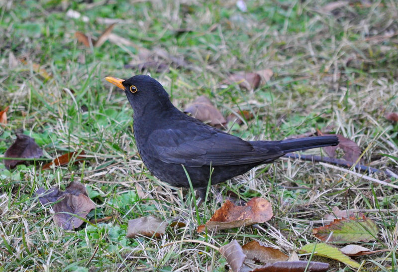 TrekNature | Turdus merula - mierla neagra. Photo