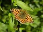 Title: The Queen of Spain Fritillary (Issoria l