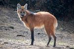Title: Maned Wolf