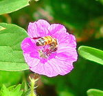Title: Honey bee in the pink