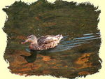 Title: Duck in amber