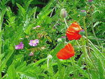 Title: Wild roses and poppies