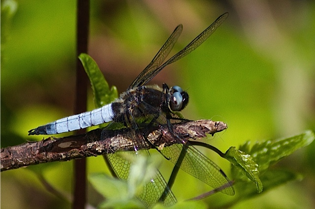 Libellula fulva / Dragon-Fly