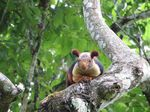 Title: Indian giant squirrel