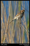 Title: Between Reeds (Reed bunting)