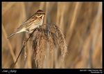 Title: Between Reeds IV (Reed bunting)