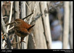 Title: Little Wren
