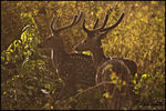 Title: SPOTTED DEERS