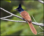 Title: PARADISE FLY CATCHER-Female-