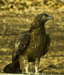 Title: HONEY BUZZARD