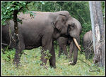 Title: ASIATIC ELEPHANT IN MUSTH