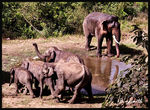 Title: ASIATIC ELEPHANTS