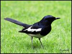 Title: MAGPIE ROBIN