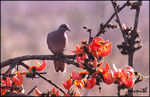 Title: SPOTTED DOVE