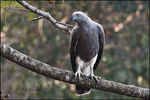 Title: GREY HEADED FISHING EAGLE