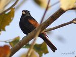 Title: CRESTED BUNTING