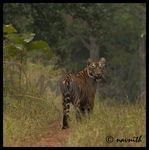 Title: WILD TIGER AT TADOBA