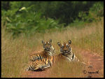 Title: WILD TIGERS AT TADOBA
