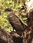 Title: CRESTED HAWK EAGLE